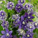 Kolokolo Store 25 Double Dark Purple Clematis Seeds Bloom Climbing Perennial Plumeria Vine 784