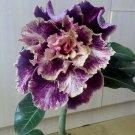 Kolokolo Store 4 Purple Cream Desert Rose Seeds Adenium Obesum Flower Exotic Seed Bloom 891