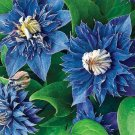 Kolokolo Store 25 Double Blue Clematis Seeds Bloom Climbing Perennial Plumeria Flower Seed 779
