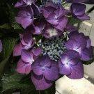 Kolokolo Store 5 Black Diamond Hydrangea Seeds Perennial Hardy Garden Shrub Flower Bush 457