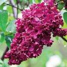 Kolokolo Store 25 Red French Lilac Seeds Tree Fragrant Hardy Perennial Flower Shrub Bloom 439
