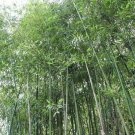 Kolokolo Store 50 Giant Japanses Timber Bamboo Seeds Privacy Climbing Garden Clumping Shade 549
