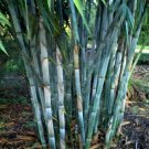 Kolokolo Store 50 Rare Blue Bamboo Seeds Privacy Plant Garden Clumping Exotic Shade Screen 383