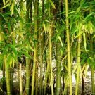 Kolokolo Store 50 Rare Yellow Bamboo Seeds Privacy Seed Garden Clumping Exotic Shade Screen 385