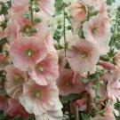 Kolokolo Store 25 Light Pink Holyhock Seeds Perennial Giant Garden Seed Flower Tall Flowers 331