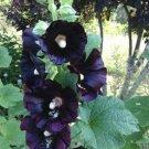 Kolokolo Store 25 Dark Black Purple Hollyhock Seeds Perennial Giant Garden Seed Flowers 61
