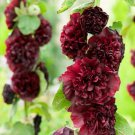 Kolokolo Store 25 Maroon Hollyhock Seeds Perennial Giant Flower Garden Seed Flowers Bloom 328