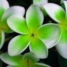 Kolokolo Store 5 Green White Plumeria Seeds Plants Flower Lei Hawaiian Perennial Flowers 2483