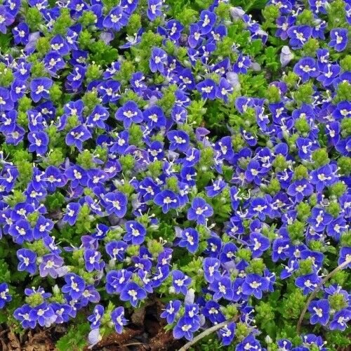 Kolokolo Store 100 Blue Alyssum Seeds Carpet Flower Sweet Royal Boarder Plant Garden Seed