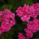 Kolokolo Store 25 Bright Pink Geranium Seeds Hanging Basket Perennial Flowers Seed Flower 174