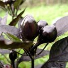 Kolokolo Store 25 Black Pearl Ornamental Pepper Seeds Annual Spicy Seed Garden Perennial 46