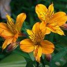 Kolokolo Store 20 Yellow Alstroemeria Lily Seeds Flower Seed Peruvian Perennial Lillies Lilly