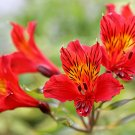 Kolokolo Store 20 Red Alstroemeria Lily Seeds Flower Seed Peruvian Perennial Seed Lillies 71