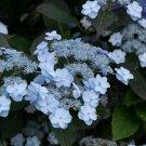 Kolokolo Store 5 Light Blue Hydrangea Seeds Perennial Hardy Garden Shrub Flower Bush Seed 871