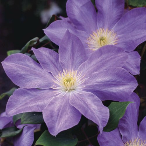 Kolokolo Store 25 Light Purpl Clematis Seeds Bloom Climbing Perennial Flowers Flower Seed 780