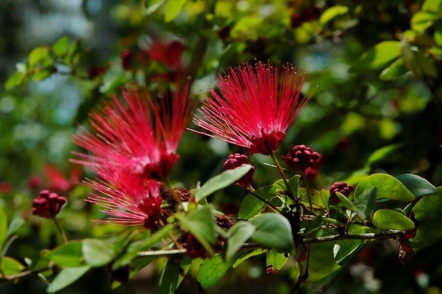 Kolokolo Store 5 Red Mimosa Tree Seeds Silk Tree Albizia julibrissin Perennial Persian Seed
