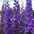 Kolokolo Store 50 Purple Delphinium Mix Seeds Perennial Garden Flower Bright Sun Shade
