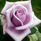 Kolokolo Store 10 Light Purple Rose Seeds Flower Bush Perennial Shrub Garden Home Exotic Seed 4