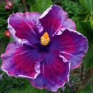 Kolokolo Store 20 Blue Pink Hibiscus Seeds Flower Tropical Garden Exotic Hardy Seed Perennial