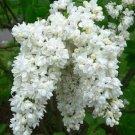 Kolokolo Store 25 White Lilac Seeds Tree Fragrant Hardy Perennial Flower Shrub Flowers Seed 370