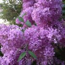 Kolokolo Store 25 Purple Lilac Seeds Tree Fragrant Hardy Perennial Flower Shrub Flowers 364