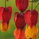 Kolokolo Store 25 Rare Red Orange Bleeding Heart Seeds Dicentra Spectabilis Shade Flower Garden