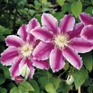 Kolokolo Store 25 Purple White Clematis Seeds Large Bloom Climbing Perennial Flower Flowers 528