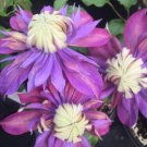 Kolokolo Store 25 Double Blue Purple Clematis Seeds Bloom Climbing Perennial Garden Flower 523