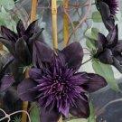 Kolokolo Store 25 Double Purple Clematis Seeds Large Bloom Climbing Perennial Garden Flower 510