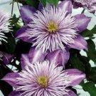 Kolokolo Store 25 Double Purple Clematis Seeds Flowers Climbing Perennial Garden Flower 507