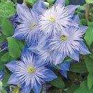 Kolokolo Store 25 Light Blue Clematis Seeds Flowers Bloom Climbing Perennial Garden Flower 413