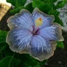 Kolokolo Store 20 Blue Silver Gray Hibiscus Seeds Flower Exotic Garden Perennial Hardy Seed