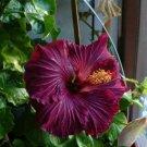 Kolokolo Store 20 Rare Dark Purple Hibiscus Seeds Perennial Flower Flowers Hardy Seed Bloom 216