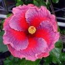 Kolokolo Store 20 Rare Pink Purple Hibiscus Seeds Perennial Seed Flower Garden Exotic Hardy