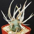 Kolokolo Store Tephrocactus Articulatus exotic rare cacti paper spines succulent cactus plant 2