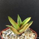 """Kolokolo Store GASTERALOE CV HELEN HAAGE VARIEGATED rare aloe gasteria succulent 2"""" pot plant"""