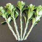 "Kolokolo Store 5x Pereskiopsis spathulata grafting stock cactus graft leaf cacti 5 cuttings 4"""
