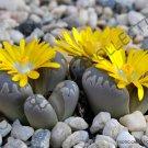 Kolokolo Store RARE LITHOPS OTZENIANA @@ mesembs exotic succulent living stones cactus 50 SEEDS