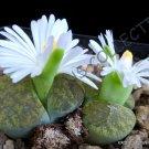 Kolokolo Store RARE LITHOPS LESLIEI V ALBINICA @@ living stone rock cactus cacti seed 50 SEEDS