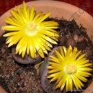 Kolokolo Store RARE LITHOPS LESLIEI PIETERSBURG @ living stone rock cactus cacti seed 100 SEEDS