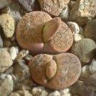 Kolokolo Store RARE LITHOPS LESLIEI MINOR @ exotic living stone rock cactus cacti seed 30 SEEDS