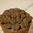 Kolokolo Store RARE LITHOPS HOOKERI ELEPHINA C92 @@ exotic living stones mesembs seed 100 SEEDS