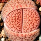 Kolokolo Store RARE LITHOPS HOOKERI VERMICULATE FORM C336 living stones exotic mesemb 100 SEEDS
