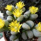 Kolokolo Store RARE LITHOPS HELMUTII living stones exotic pebbles succulent rock seed 30 SEEDS