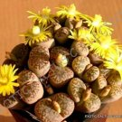 Kolokolo Store RARE LITHOPS BROMFIELDII @J@ mesembs living stone rock plant seed 30 SEEDS