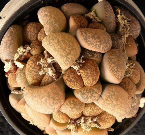 Kolokolo Store Lithops lesliei minor Witblom rare living stone rock exotic mesemb seed 30 SEEDS