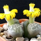 Kolokolo Store LITHOPS HERMETICA @ rare mesembs exotic succulent living stones cactus 30 SEEDS