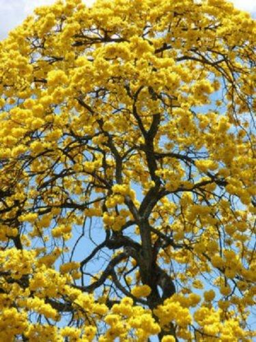 Kolokolo Store TABEBUIA CARAIBA exotic yellow trumpet flowering tree bonsai gold seed 100 seeds