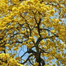 Kolokolo Store TABEBUIA CARAIBA exotic yellow trumpet flowering tree bonsai gold seed 100 seeds