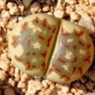 Kolokolo Store Lithops dorotheae Zorro, exotic living stone rock ice peable cacti seed 30 SEEDS